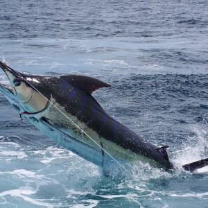 Blue marlin azores 12
